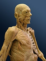 Whole body plastinat